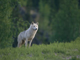 Wolf in the Wilderness of the Northwest Territories Photographic Print by Paul Nicklen