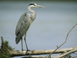 Graceful Gray Heron Standing on a Log Photographic Print by Klaus Nigge