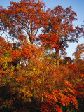 Tree in Golden Fall Color Along the Appalachian Trail Photographic Print by Raymond Gehman