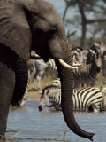 An African Elephant Drinks from a Water Hole Shared by a Herd of Plains Zebras Photographic Print by Beverly Joubert