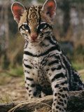 A Captive Ocelot Photographic Print by Roy Toft