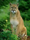 A Close View of a Captive Male Mountain Lion (Felis Concolor) Fotografie-Druck von Norbert Rosing