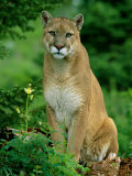 A Close View of a Captive Male Mountain Lion (Felis Concolor) Photographic Print by Norbert Rosing