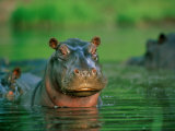 A Hippopotamus Pokes its Head out of the Water While Swimming with Other Hippos Photographic Print by Beverly Joubert