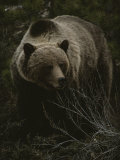 Close Frontal View of a Huge Grizzly (Ursus Arctos Horribilis) in a Pine Wood Fotografiskt tryck av Michael S. Quinton