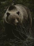 Close Frontal View of a Huge Grizzly (Ursus Arctos Horribilis) in a Pine Wood Lámina fotográfica por Quinton, Michael S.