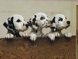 Three Inquisitive Dalmatian Puppies Peeking over a Board Stampa fotografica di Bailey, Joseph H.