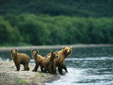 A Mother Brown Bear and Her Cubs at the Waters Edge Fotografisk tryk af Klaus Nigge