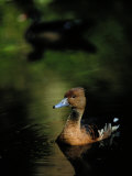 A Ruddy Duck Swims Through the Marsh Waters Photographic Print by Raymond Gehman