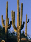 Saguaro Cacti in Desert Landscape with Vivid Blue Sky Photographic Print by Richard Nowitz