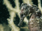 A Close View of the Head of a Sea Horse with a Coral Backdrop Photographic Print by Tim Laman