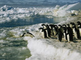 Adelie Penguins Line up to Dive into the Icy Antarctic Waters Photographic Print by Maria Stenzel