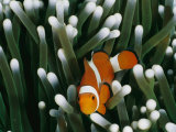 A Close-View Image of a False Clown Anemonefish (Amphiprion Ocellaris) Photographic Print by Wolcott Henry