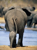 Female African Elephant and Her Calf in Chobe National Park Photographic Print by Beverly Joubert