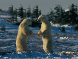 A Pair of Polar Bears (Ursus Maritimus) Stand on Their Hind Legs Prepared to Wrestle One Another Photographic Print by Norbert Rosing