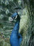 Peacock with its Tail Feathers Spread Photographic Print by Joseph H. Bailey