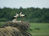 White Storks Displaying in Their Nest with Chicks Photographie par Klaus Nigge