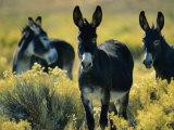 Wild Burros in Sagebrush Photographic Print by Joel Sartore