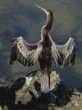 An American Anhinga Dries its Wings on a Rock Overlooking the Water Photographic Print by Nicole Duplaix