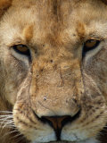 Close View of a Male Lion (Panthera Leo) Photographic Print by Beverly Joubert