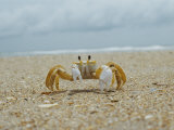 Eye to Eye View of a Ghost Crab on the Beach Photographic Print by Al Petteway
