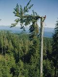 A Lumberman Tops a Sitka Spruce Fotografisk tryk af W. E. Garrett