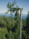 A Lumberman Tops a Sitka Spruce Photographic Print by W. E. Garrett