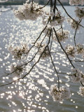 Close View of Cherry Blossoms Photographic Print by Stephen St. John