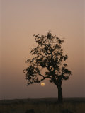 Baobab Tree (Adansonia Digitata) Silhouetted by the African Sunset Photographic Print by Bobby Model