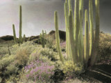 Wildflowers Bloom Among Cactus in a Desert Landscape Photographic Print by Annie Griffiths Belt
