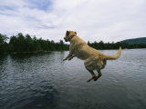 A Yellow Labrador Retriever Jumps into a Lake Photographic Print by Heather Perry