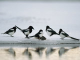 A Group of Magpies Gathered Around a Fish Carcass Photographic Print by Klaus Nigge