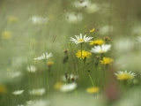 Field Filled with Daisies and Dandelions in Bloom Fotografie-Druck von Klaus Nigge