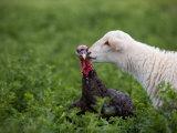 A Katahdin Lamb Gives a Bronze Turkey a Kiss on a Farm in Kansas Fotoprint van Joel Sartore