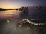 An Eastern Diamondback Rattlesnake Rests on a Mangrove Tree Photographic Print by Chris Johns