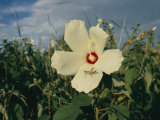 A Close View of a Delicate Marsh Mallow Flower Being Explored by a Grasshopper Photographic Print by Stephen St. John