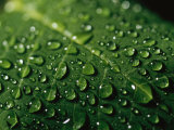 Water Drops and Droplets on a Leaf Photographic Print by Taylor S. Kennedy