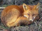 Red Fox Stampa fotografica di Sartore, Joel