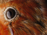 A Culex Mosquito Near the Eye of an Iiwi Bird Fotografisk tryk af Chris Johns