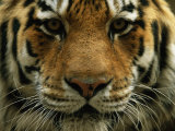 A Close View of the Face of Khuntami, a Male Siberian Tiger, in a Zoo Photographic Print by Joel Sartore