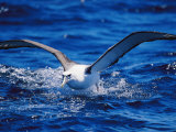 A Shy Albatross Running on Water to Take off into Flight, This Species is Considered Vulnerable Photographic Print by Jason Edwards
