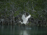 A Great Blue Heron (Ardea Herodias) Stalks Prey in a Mangrove Swamp Photographic Print by Medford Taylor