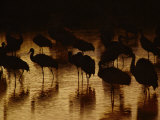 Whooping Cranes Silhouetted as They Wade Through the Water Photographic Print by Joel Sartore