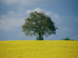 A Scenic View of Bright Yellow Rape Fields with a Single Green Tree at the Top of a Hill Photographic Print by Todd Gipstein