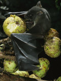 A Native Species, the Musky Fruit Bat Feeds on Figs Photographic Print by Tim Laman