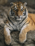 A Siberian Tiger Rests on a Rock in an Outdoor Enclosure Photographic Print by Joel Sartore