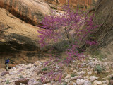 Hiker and Redbud Tree in Bloom in Canyon Photographic Print by Kate Thompson
