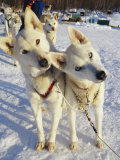 Portrait of Two Husky Sled Dogs, Their Heads Cocked with Curiosity Photographic Print by Paul Nicklen
