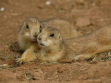 Close View of a Pair of Prairie Dogs Photographic Print by Annie Griffiths Belt