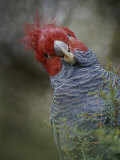 Colorful Portrait of a Gang-Gang Cockatoo Photographie par Jason Edwards